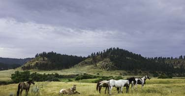 Pictured: Horses grazing a field in Billings Montana.